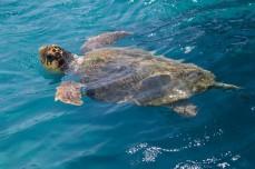 turtle-s47938165-e1351561974287